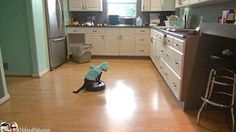Shark Cat cleans kitchen on Roomba
