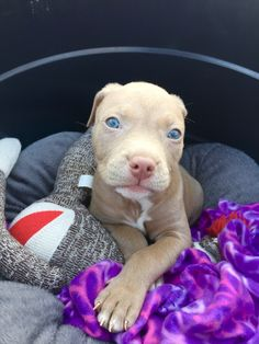 CALI the princess. 6 weeks old. #bully #razoredge #fawn #pitbull #blueeyes #puppy #perfect