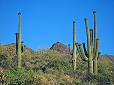 Saguaro cacti in early June with red fruits, near Cave Creek, AZ.