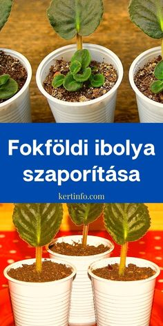 Fokföldi ibolya szaporítása Indoor Plants, Planter Pots, Garden, Flowers, Vivarium, Lawn And Garden, Balcony, Inside Plants, Garten