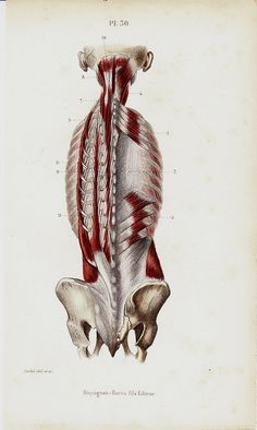 1843 Antique ANATOMY print, spinal column, muscular system, backbone. original antique 170 years old print