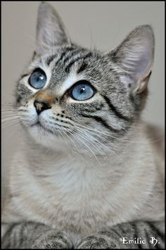Kitty blue eyes