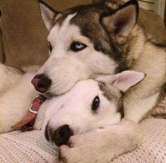 Wonderful All About The Siberian Husky Ideas. Prodigious All About The Siberian Husky Ideas. Le Husky, Siberian Husky Dog, Husky Puppy, Most Beautiful Dogs, Animals Beautiful, Cute Animals, Shiba Inu, Husky Mignon, Funny Dogs