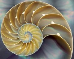 Divine Symmetry of the Golden Proportion in Nature - The Nautilus showing The Pythagorean Theorem as well as the Fibonacci Sequence