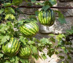 Flora, Watermelon, Home And Garden, Fruit, Diy, Gardening, Urban, House, Greenhouse Plants