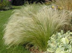 Japanese Ornamental Grasses | Ornamental Grasses