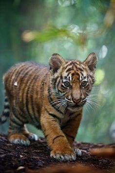 Sumatran tiger cub - Tiger-Baby by Steven Wolf Photography
