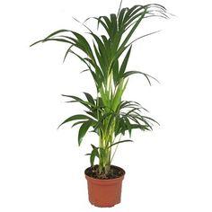 Petit palmier phoenix avec cache pot vert plantes d - Plante depolluante interieur ...