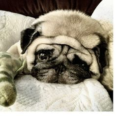 A pug's world is full of worries (yeah right)
