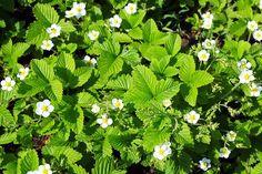 Brug jordbær eller skovjordbær som bunddække i haven.