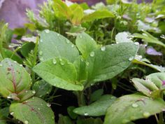 bijou de pluie sur semis