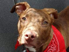 SAFE 6/8/13 Manhattan Center  ELI A0966509 Neutered male br brindle/white am pit bull ter mix 9 MOS *AVERAGE SAFER* Eli is only 9 month pup looking for a loving home. He's an easy boy to spend time with - not demanding, walking nicely on the leash. He is such a low key, social fellow who is scheduled to be killed tomorrow unless someone step ups up for him tonite. PLS share to save his life