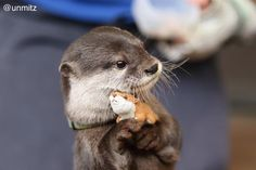 Otter hugging a toy.