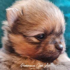 Pomeranian Breeders, Pomeranian Puppy, Water For Elephants, Dog Information, Melbourne Australia, Champion, Puppies, Dogs, Animaux