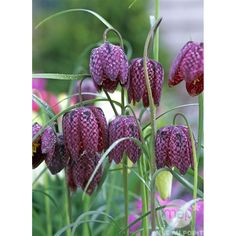 Fritillaria meleagris, pot D10, 5 bulbes Pots, Black Garden, Gardens, Bulbs, Plants, Flowers, Cookware, Jars, Saucepans
