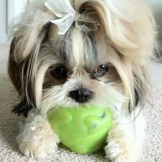 I can't wait until my Shih Tzu's facial hair gets long enough to style like this. Right now she looks like a dirty mop because the eye hair tufts aren't long enough to reach the top knot and it just sticks out everywhere. Haha