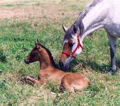 WARFACE & foal FORTESSA