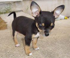 cute, little, Chihuahua Puppy