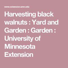 Harvesting black walnuts : Yard and Garden : Garden : University of Minnesota Extension
