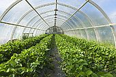 600-05524154 Organic Strawberry Plants South Iceland Iceland