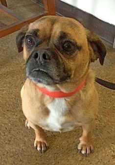 Meet Duber, a Petfinder adoptable Pug Dog | Accord, NY | Duber is a 3 year old, neutered, Pugle. He is a sweet, love, muffin !!! So, so cute you will have a...