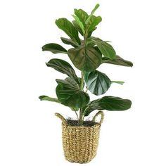 Bayou Breeze Fiddle Leaf Fig Tree in Basket - Modern Artificial Succulents, Faux Succulents, Planting Succulents, Banana Leaf Tree, Fiddle Leaf Fig Tree, Fiddle Fig, Ficus Tree, Silk Tree, Floor Plants