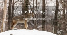 Coyote Trapping Tips