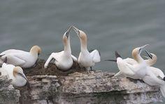 Northern gannets on Bempton Cliffs. by Richard McManus on 500px