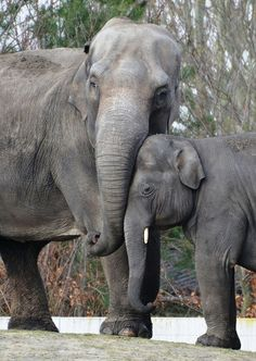 Asian Elephants ('Mong Tine') - photo by Elly (zoofan), via Flickr;  at Dierenrijk Nuenen, an Animal Park in The Netherlands