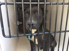 11/25/16-HOUSTON - SUPER URGENT - HIGH KILL FACILITY IS OVER CAPACITY -This DOG - ID#A472381 I am a female, black and white Pit Bull Terrier mix. My age is unknown. I have been at the shelter since Nov 15, 2016. This information was refreshed 8 minutes ago and may not represent all of the animals at the Harris County Public Health and Environmental Services.