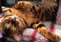 Jelenleg ő a világ legszebb cicája | Sokszínű vidék