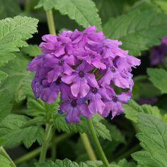 VERBENA 'Muriel' (Verveine) : Les inflorescences viennent à l'extrémité des pousses pour ce genre dont la rusticité dépend du bon drainage. Masse de fleurs violet vif, parfumées, fleurissant sans arrêt pendant 6 mois.