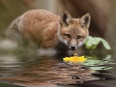 Red Fox Cub and Flower by Jimmy Through My Looking Glass