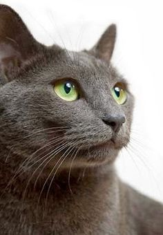 See more Health Problems in Russian Blue Cats