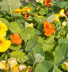 Plant some Jewel Mix Nasturtium Seeds in your organic vegetable garden. Learn when to plant nasturtium seeds in our How to Grow Nasturtiums instructions.