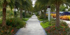Silver Date Palm Allee