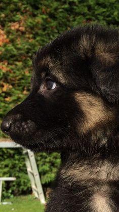 Tiny tiny sweet faced German shepherd Puppy- I'm in Love #germanshepherd