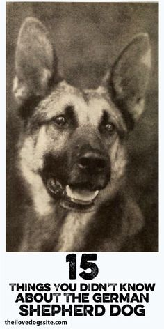 15 Things You Didn't Know About The German Shepherd Dog :)