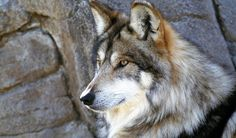 pictures of wolves in the adirondacks | Free Download Wallpapers Wolf Head Wild Animal Animals Widescreen On ...