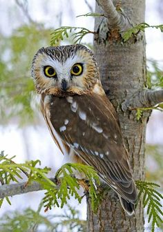 Northern Saw Whet Owl--these little guys make a very haunting noise for a critter! Owl Photos, Owl Pictures, Beautiful Owl, Animals Beautiful, Animals And Pets, Cute Animals, Wild Animals, Saw Whet Owl, Owl Bird