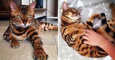 Conoce al gato bengala Thor- conquista internet con su increíble pelaje