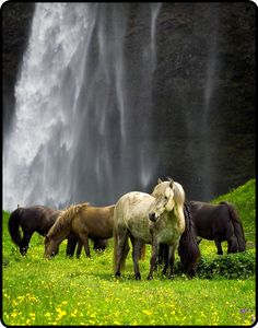 Wild horses at the waterfall