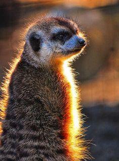 backlit-meerkat