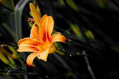 Orange Lilium Oriental Flower by maxrastello