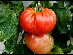 советы для получения большого УРОЖАЯ помидоров убираем лист и пасынки - YouTube
