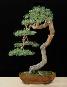 Artist: Colin Lewis  Scots Pine (Pinus sylvestris)  Pot: Dan Barton  Collected in England  Runner up in JAL World Bonsai Contest in 1999