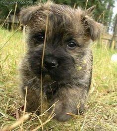 Einzigartige und Kreative Cairn Terrier Welpen Lustiges