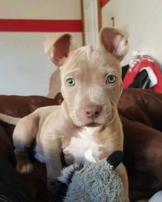 Most up-to-date Photo dogs and puppies pitbull Tips Perform you like the dog? Suitable puppy health care as well as training will mo Cute Dogs And Puppies, I Love Dogs, Doggies, Puppies Puppies, Bulldog Puppies, Cute Little Animals, Cute Funny Animals, Beautiful Dogs, Animals Beautiful