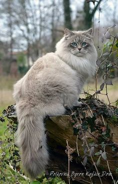 Kuz'kin Dom Polkovnik Byron, Neva Masquerade Siberian Cat| ABOUT BREED