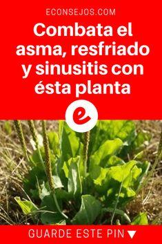 Ilanten propiedades | Combata el asma, resfriado y sinusitis con ésta planta  | Esta planta es muy especial, es usada para limpiar la sangre y los pulmones, en el tratamiento del asma, bronquitis y dolor de garganta, pues tiene una fuerte acción anti-inflamatoria. Sepa que planta es y como consumirla aquí.